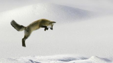 fox-jumping-256031
